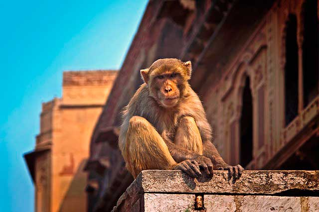 mono en Vrindavan